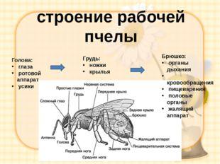 строение рабочей пчелы Голова: глаза ротовой аппарат усики Грудь: ножки крыль