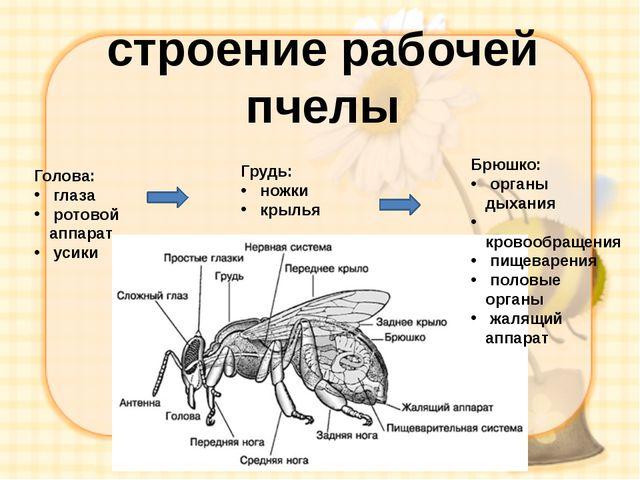 строение рабочей пчелы Голова: глаза ротовой аппарат усики Грудь: ножки крыль...