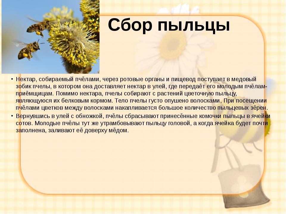 Сбор пыльцы Нектар, собираемый пчёлами, через ротовые органы и пищевод поступ...