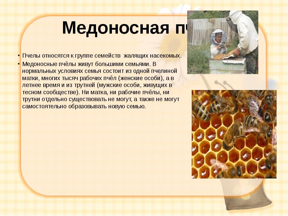 Медоносная пчела Пчелы относятся к группе семейств жалящих насекомых. Медонос...
