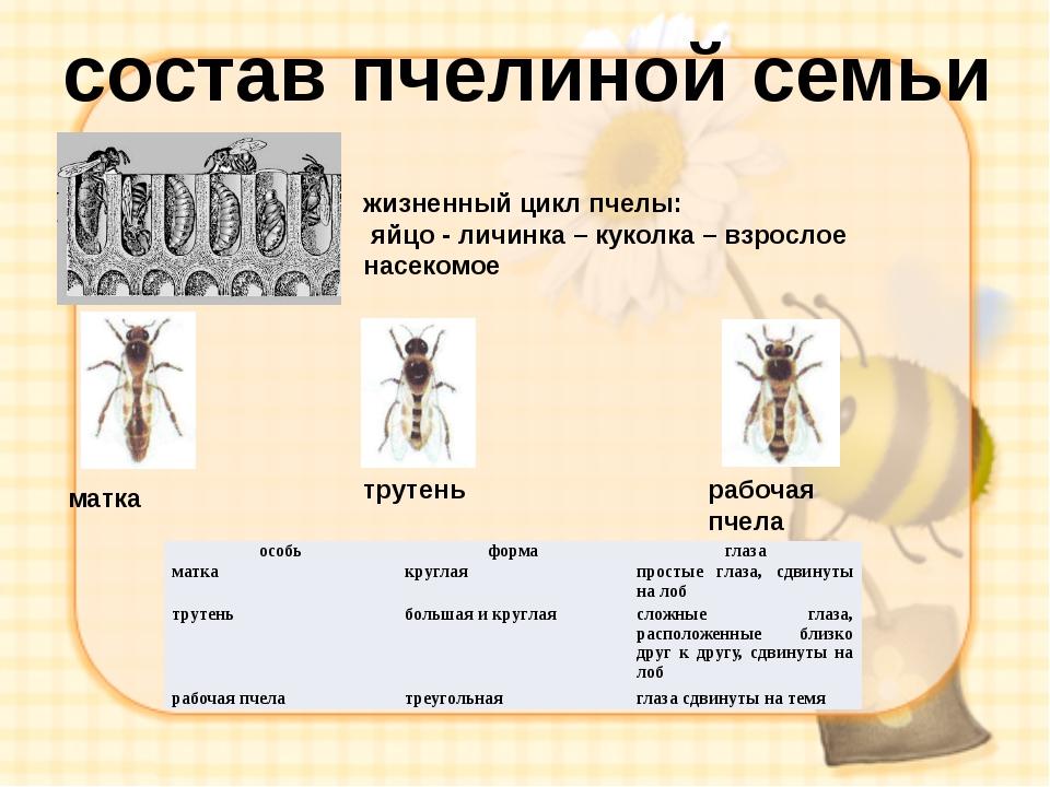 состав пчелиной семьи матка трутень рабочая пчела жизненный цикл пчелы: яйцо...