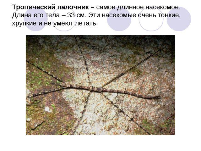 Тропический палочник – самое длинное насекомое. Длина его тела – 33 см. Эти н...