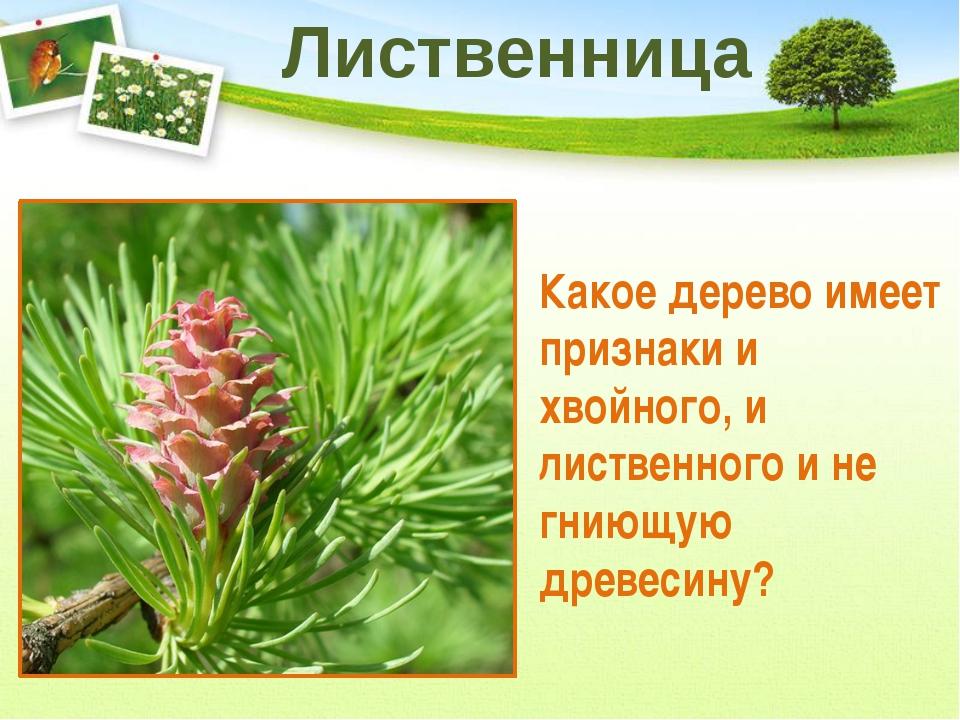 Эти деревья являются прекрасными пылесосами и их чаще всего высаживают в горо...