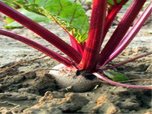 Двулетники - травянистые растения, полный жизненный цикл которого составляет