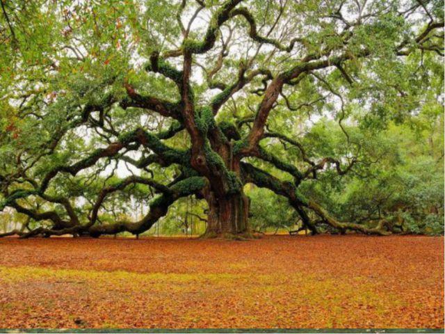 Деревья Де́рево — типичная форма деревянистых растений, имеющих ствол, из дре...