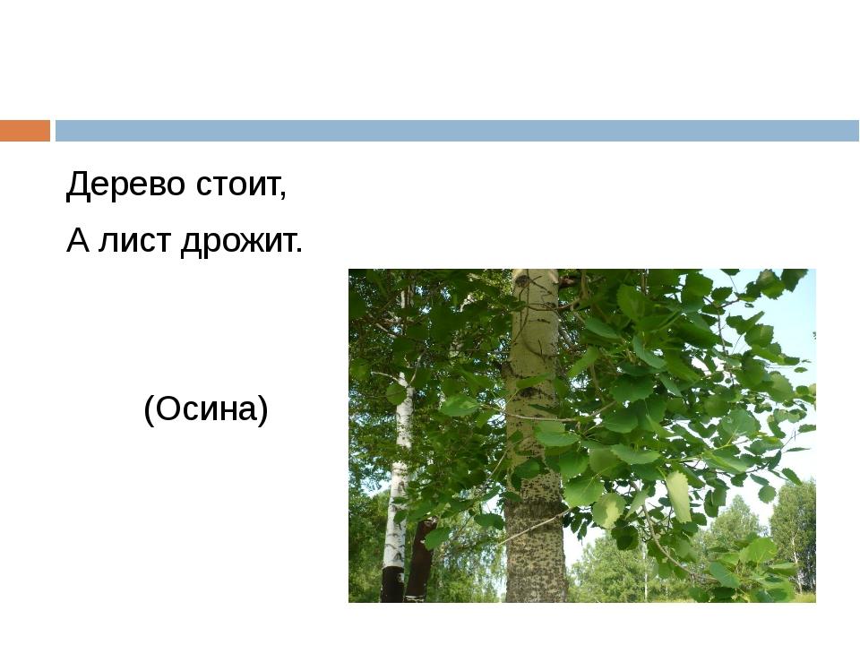 Дерево стоит, А лист дрожит. (Осина)