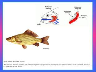 Рыбы дышат жабрами в воде. Кто был на рыбалке, помнит, как пойманная ры