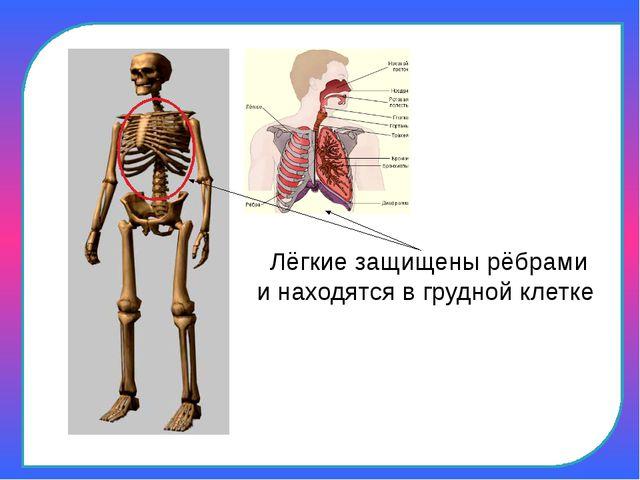 Лёгкие защищены рёбрами и находятся в грудной клетке