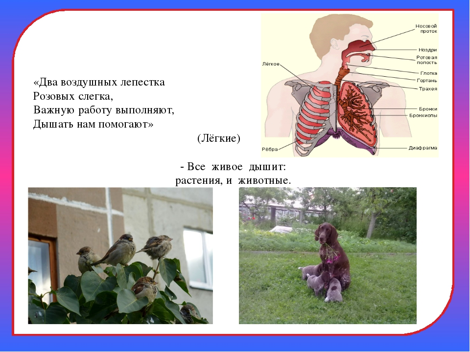 «Два воздушных лепестка Розовых слегка, Важную работу выполняют, Дышать нам...