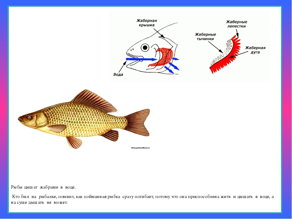 Рыбы дышат жабрами в воде. Кто был на рыбалке, помнит, как пойманная ры...