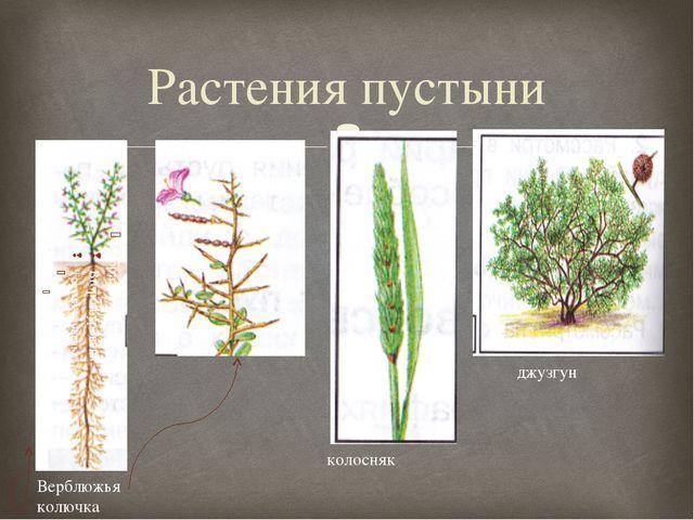 Растения пустыни Верблюжья колючка колосняк джузгун 