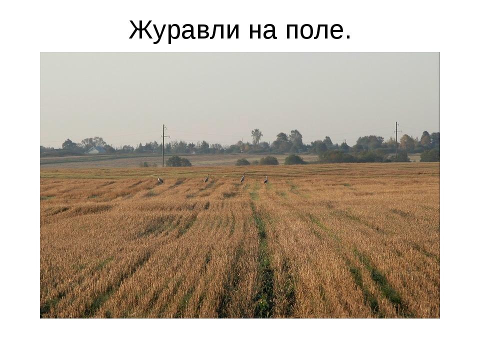 Журавли на поле.