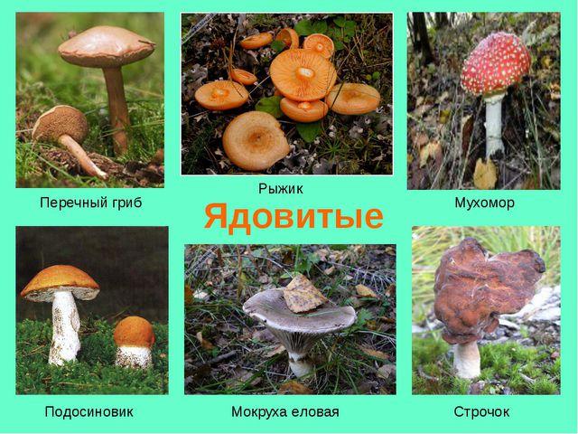 Ядовитые Перечный гриб Подосиновик Рыжик Мухомор Мокруха еловая Строчок