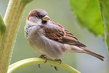 https://upload.wikimedia.org/wikipedia/commons/thumb/2/25/House_Sparrow_m_2892.jpg/220px-House_Sparrow_m_2892.jpg