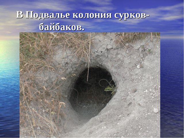 В Подвалье колония сурков- байбаков.