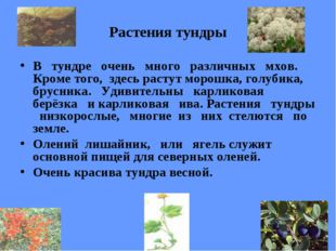 Растения тундры В тундре очень много различных мхов. Кроме того, здесь растут