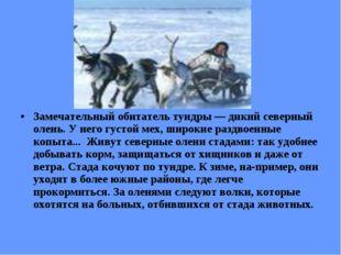 Замечательный обитатель тундры — дикий северный олень. У него густой мех, ши