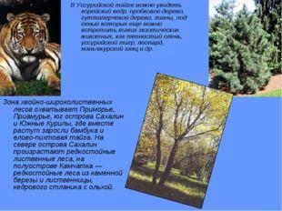 В Уссурийской тайге можно увидеть корейский кедр, пробковое дерево, гуттаперч