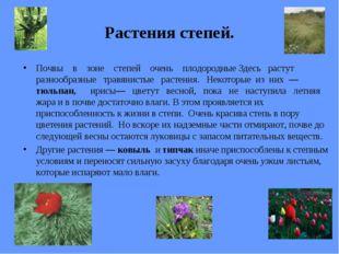 Растения степей. Почвы в зоне степей очень плодородные Здесь растут разнообра