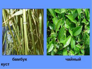бамбук чайный куст