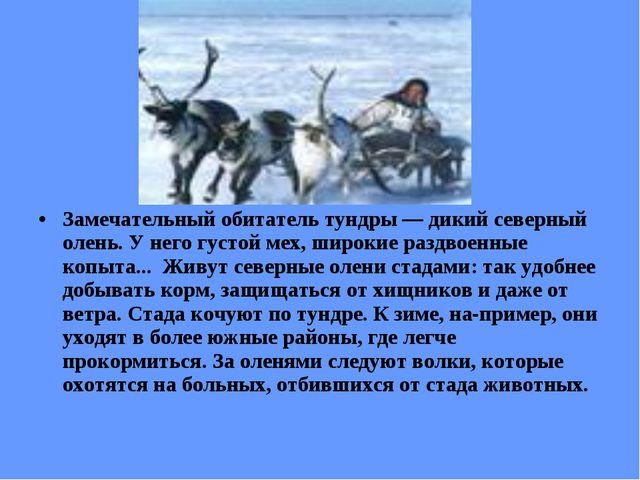 Замечательный обитатель тундры — дикий северный олень. У него густой мех, ши...