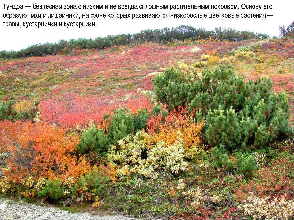 Тундра — безлесная зона с низким и не всегда сплошным растительным покровом....