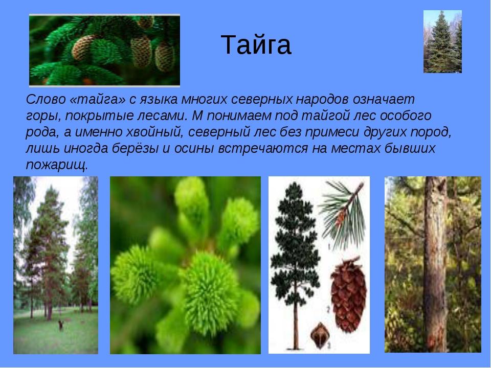 Тайга Слово «тайга» с языка многих северных народов означает горы, покрытые...