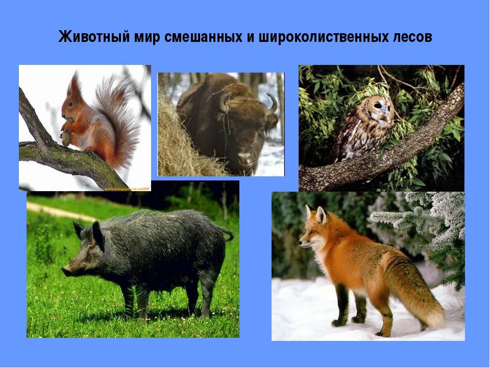 Животный мир смешанных и широколиственных лесов