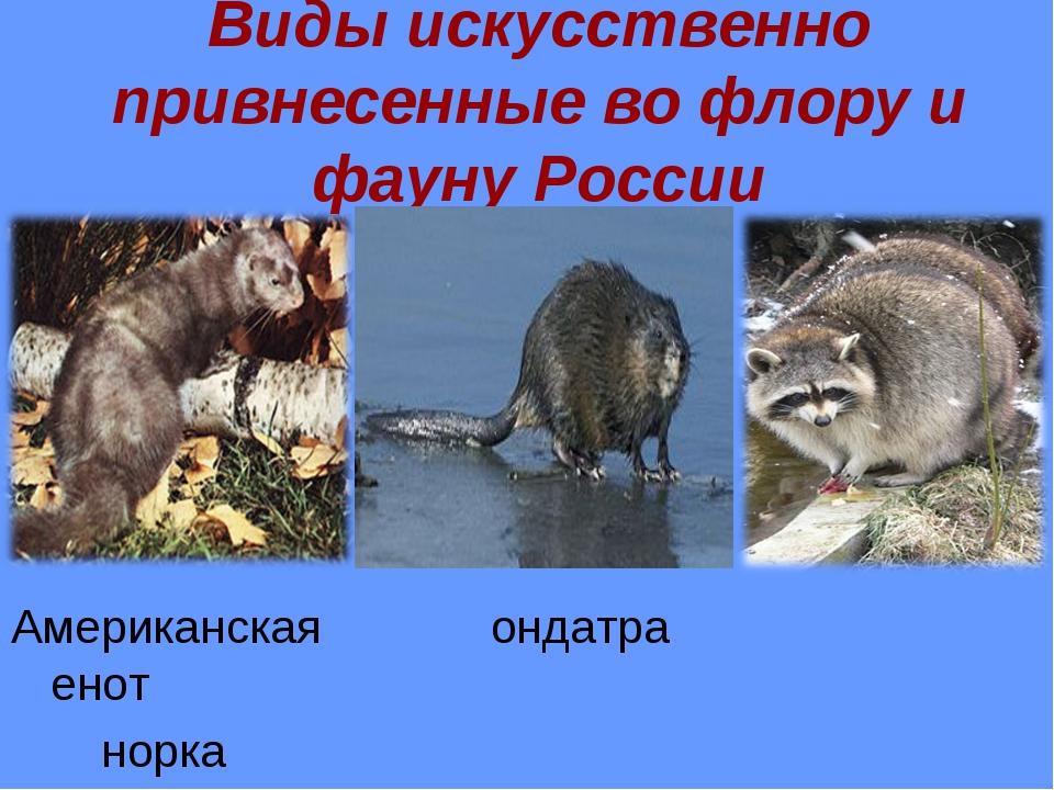 Виды искусственно привнесенные во флору и фауну России Американская ондатра е...