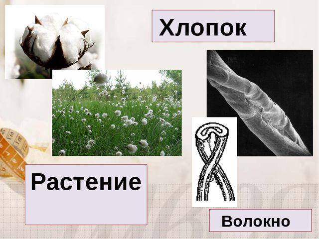 Хлопок Волокно Растение