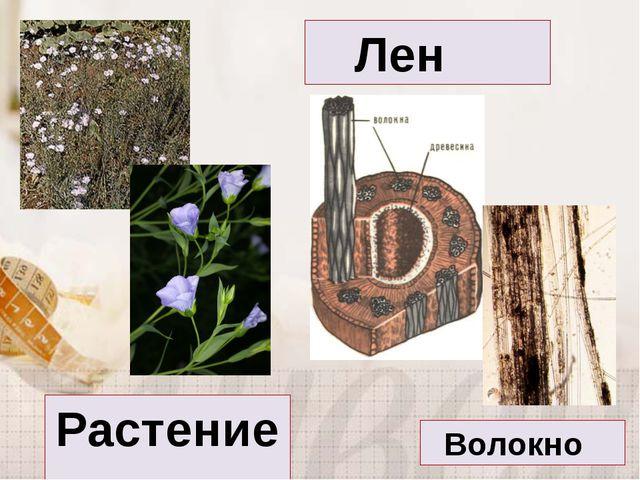 Лен Волокно Растение