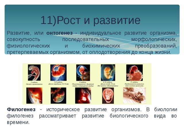 Развитие, или онтогенез - индивидуальное развитие организма, совокупность пос...