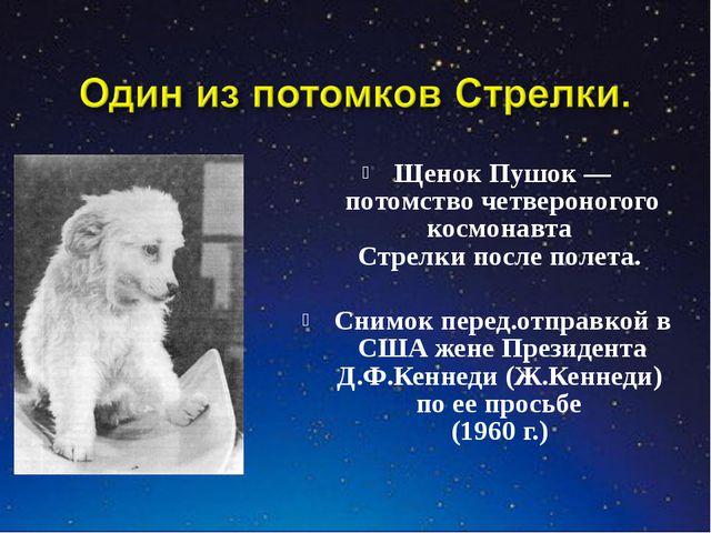 Щенок Пушок — потомство четвероногого космонавта Стрелки после полета. Снимо...