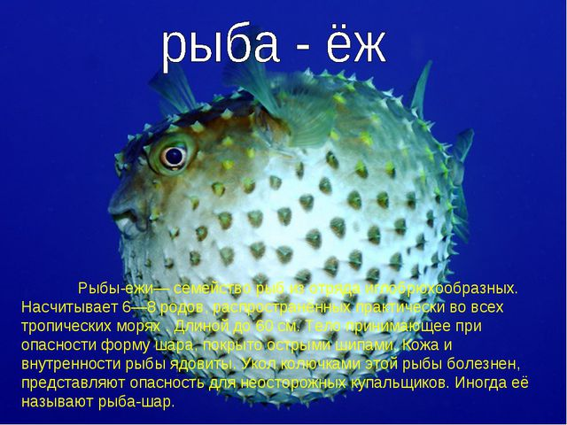 Рыбы-ежи— семейство рыб из отряда иглобрюхообразных. Насчитывает 6—8 родов,...
