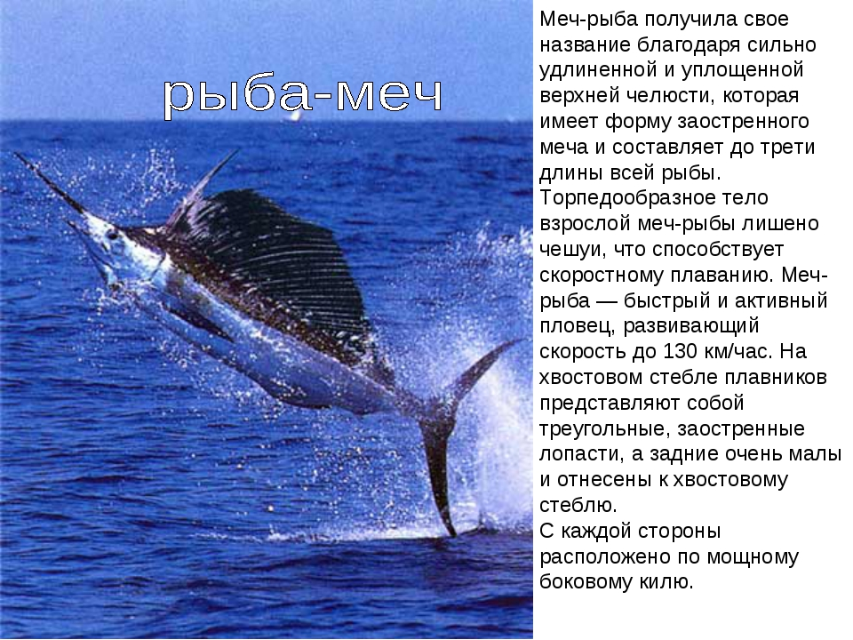 Меч-рыба получила свое название благодаря сильно удлиненной и уплощенной верх...