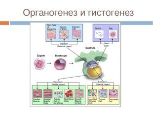 Органогенез и гистогенез