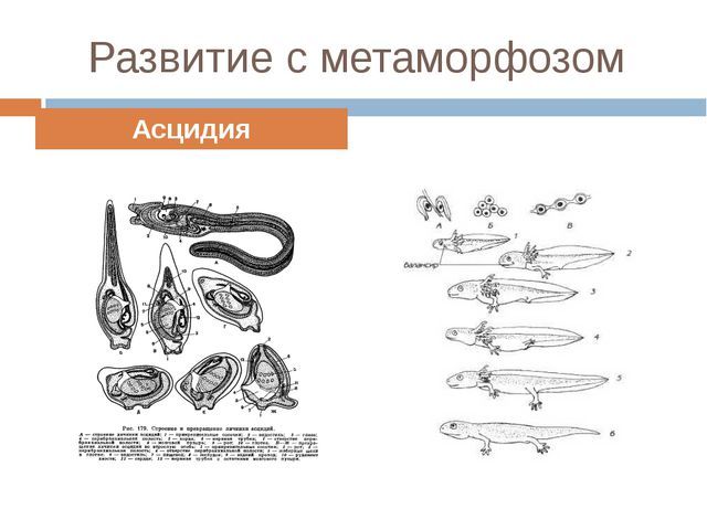 Развитие с метаморфозом Асцидия Амфибии