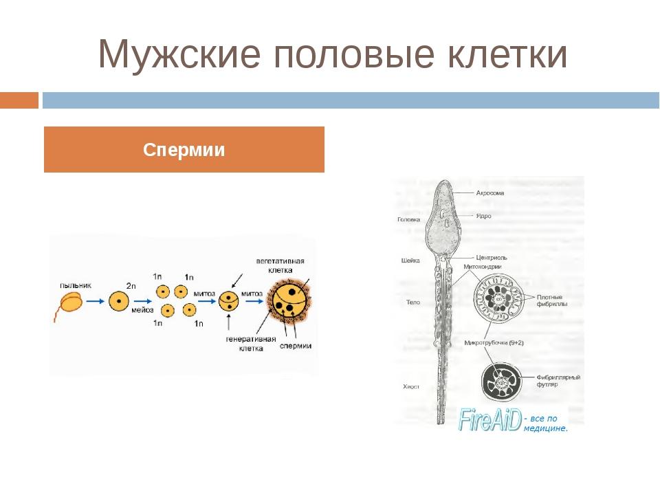 Мужские половые клетки Спермии Сперматозоид