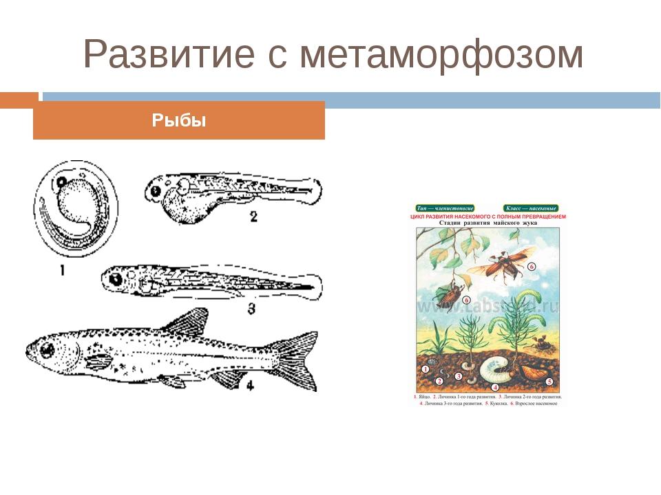 Развитие с метаморфозом Рыбы Насекомые