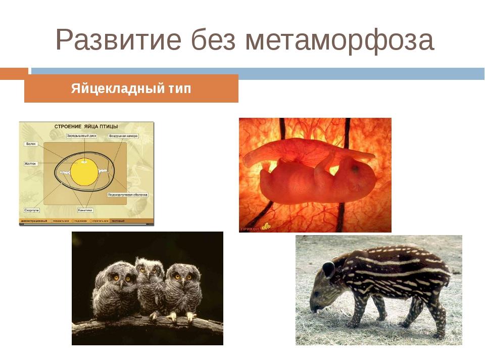 Развитие без метаморфоза Яйцекладный тип Внутриутробный тип
