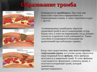Образование тромба Активируютсятромбоциты. При этом они выпускают отростки и