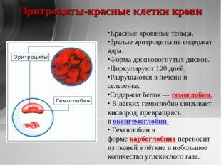 Эритроциты-красные клетки крови Красные кровяные тельца. Зрелые эритроциты не