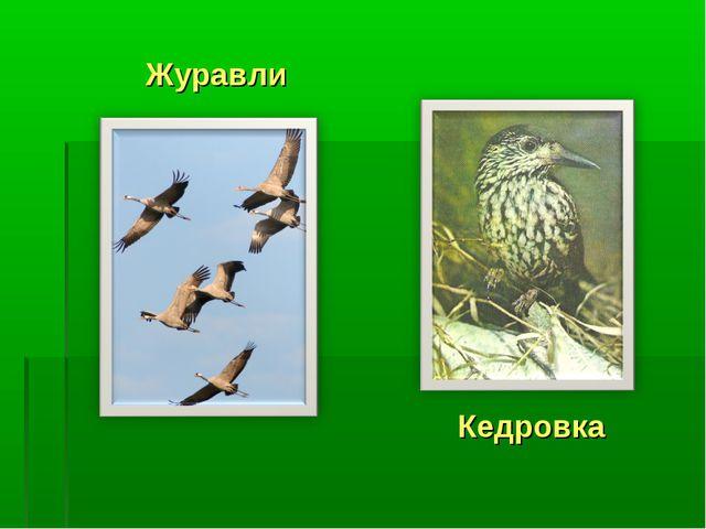 Журавли Кедровка