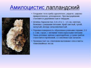 Амилоцистис лапландский Плодовое тело гриба однолетнее, упругое, широко прик