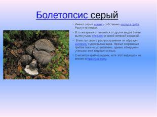 Болетопсис серый Имеют серыеножкиу собственнокорпуса гриба. Растут группа