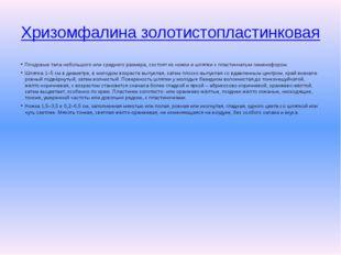 Хризомфалина золотистопластинковая Плодовые тела небольшого или среднего разм