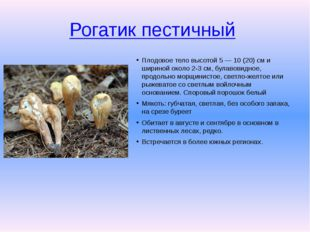 Рогатик пестичный Плодовое тело высотой 5 — 10 (20) см и шириной около 2-3 с