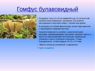 Гомфус булавовидный Плодовые тела 2,5-10 см шириной и до 15 см высотой. Шляпк