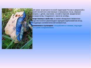 Гриб синяквстречается по всей территории России в умеренной и южной лесной