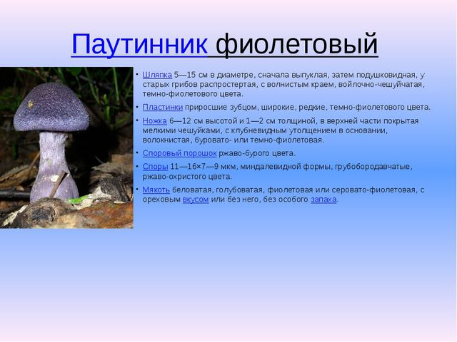 Паутинник фиолетовый Шляпка5—15см в диаметре, сначала выпуклая, затем поду...